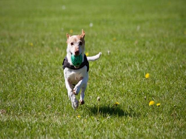 Springande hund med boll